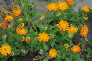 calendula, pianta antibatterica e antinfiammatoria